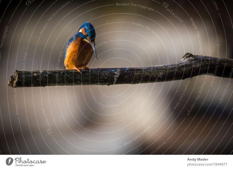The Kingfisher ( Eisvogel ) Natur Wildtier Vogel 1 Tier glänzend schön blau orange small bird animal kingfisher wildlife colorful blue common green beak branch