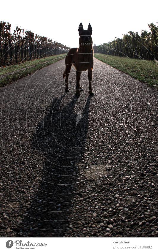 Symmetrie mit Hund Natur grün schwarz Tier grau Hund Wege & Pfade warten stehen Wachsamkeit Haustier Symmetrie Weinberg Schatten Fluchtlinie