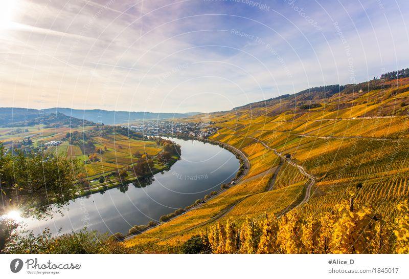 Mosel Weinlandschaft in Leuchtenden Herbstfarben Ferien & Urlaub & Reisen Umwelt Natur Landschaft Urelemente Sonnenlicht Nutzpflanze Weinberg Hügel Flussufer