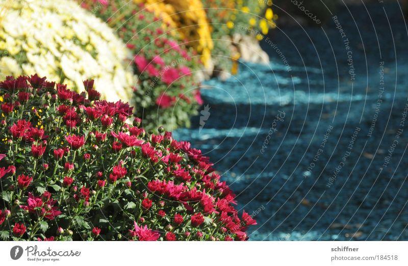 Blumenmeer Farbfoto Außenaufnahme Umwelt Natur Pflanze Blüte Freude Glück Fröhlichkeit Frühlingsgefühle Chrysantheme Garten Gartenbau Gärtner