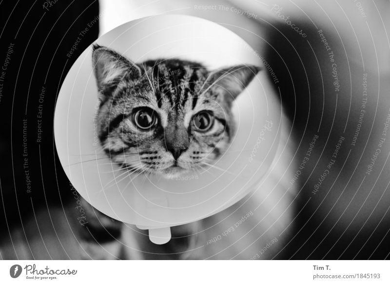Krank Tier Haustier Katze 1 Zufriedenheit Hauskatze Kragen Krankheit Schwarzweißfoto Innenaufnahme Menschenleer