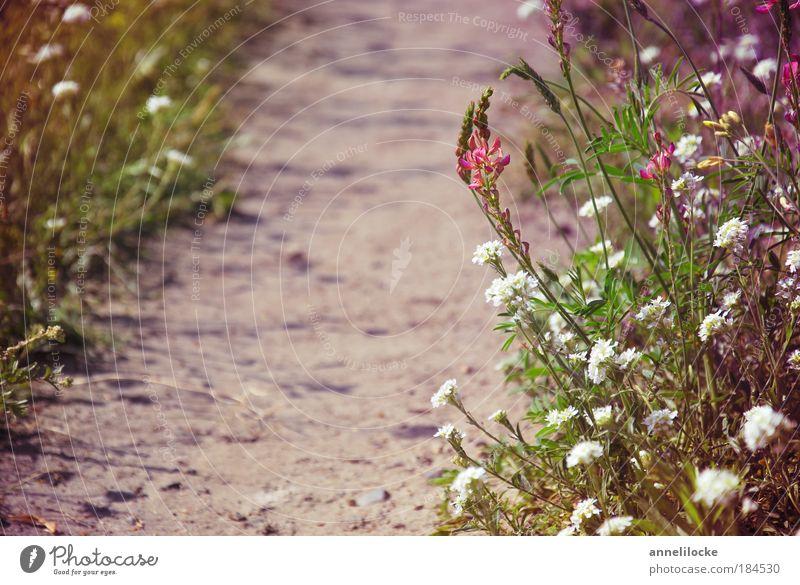 Sommerspaziergang Natur Pflanze Sommer Ferien & Urlaub & Reisen Ferne Wiese Freiheit Landschaft Umwelt Gras Garten Blüte Sand Wege & Pfade Park Erde