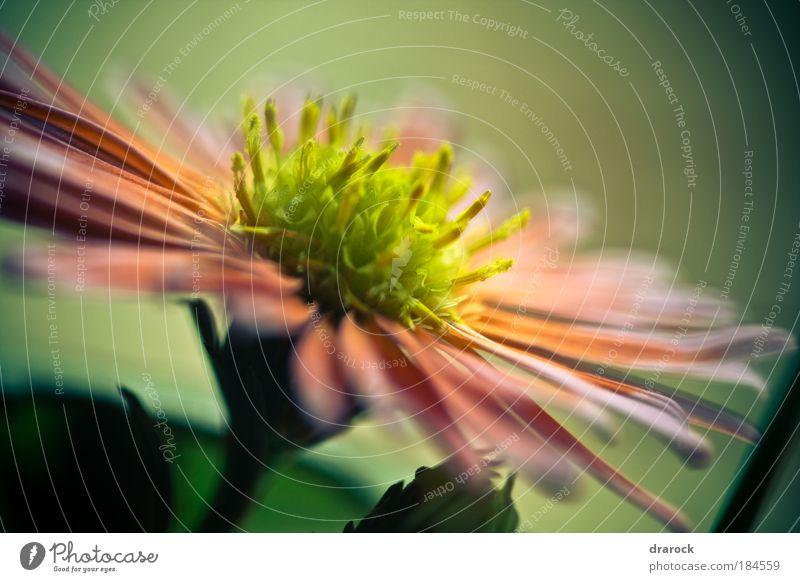 Träume I Farbfoto Gedeckte Farben Nahaufnahme Detailaufnahme Makroaufnahme Lomografie Starke Tiefenschärfe Natur Pflanze Frühling Schönes Wetter Blume Blüte