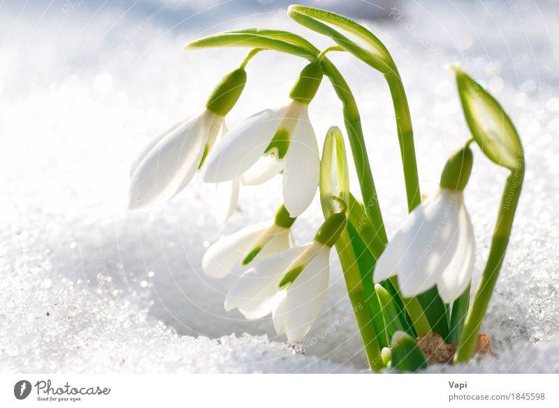 Frühlingsschneeglöckchenblumen mit Schnee Natur Pflanze Farbe grün weiß Blume Landschaft Blatt Winter Wald Umwelt Leben Blüte Wiese natürlich