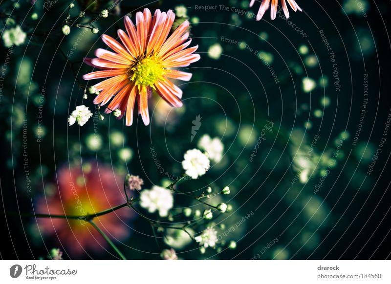 Träume II Farbfoto Gedeckte Farben Nahaufnahme Detailaufnahme Makroaufnahme Lomografie Starke Tiefenschärfe Natur Pflanze Frühling Schönes Wetter Blume Blüte