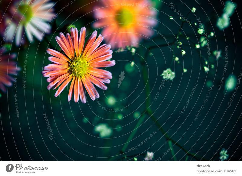 Träume III Farbfoto Gedeckte Farben Nahaufnahme Detailaufnahme Makroaufnahme Lomografie Starke Tiefenschärfe Natur Pflanze Frühling Schönes Wetter Blume Blüte