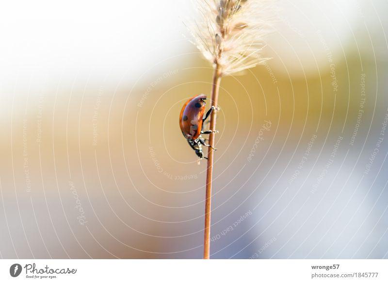 Abstieg Tier Herbst Pflanze Gras Nutztier Wildtier Käfer Marienkäfer 1 klein blau braun mehrfarbig grau rot schwarz krabbeln abwärts Halm Gegenlicht Tag