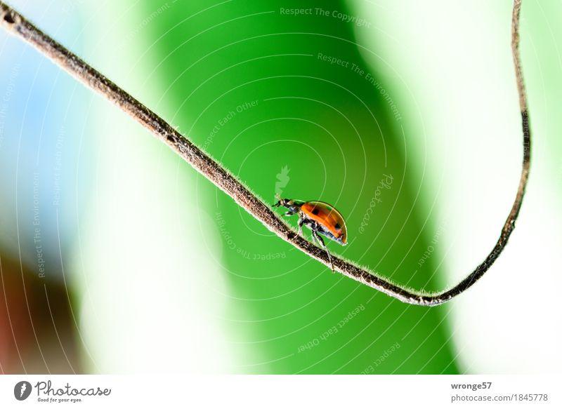 Aufwärtsbewegung Frühling Sommer Herbst Tier Nutztier Wildtier Käfer Marienkäfer Insekt 1 Bewegung laufen klein blau braun grün rot schwarz weiß Kraft