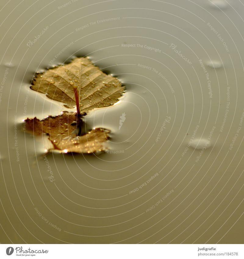 Herbst Farbfoto Außenaufnahme Tag Umwelt Natur Wasser Blatt nass trist Ende Leichtigkeit Vergänglichkeit Wandel & Veränderung Birkenblätter leicht ruhig Pfütze