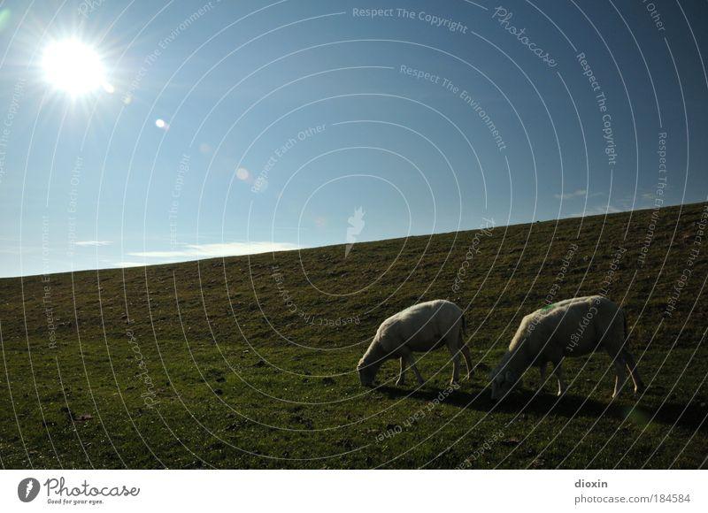 Der Deich lebt! Natur Himmel weiß Sonne blau Pflanze Tier Wiese Gras grau Landschaft Küste Tierpaar Wetter Umwelt Schönes Wetter