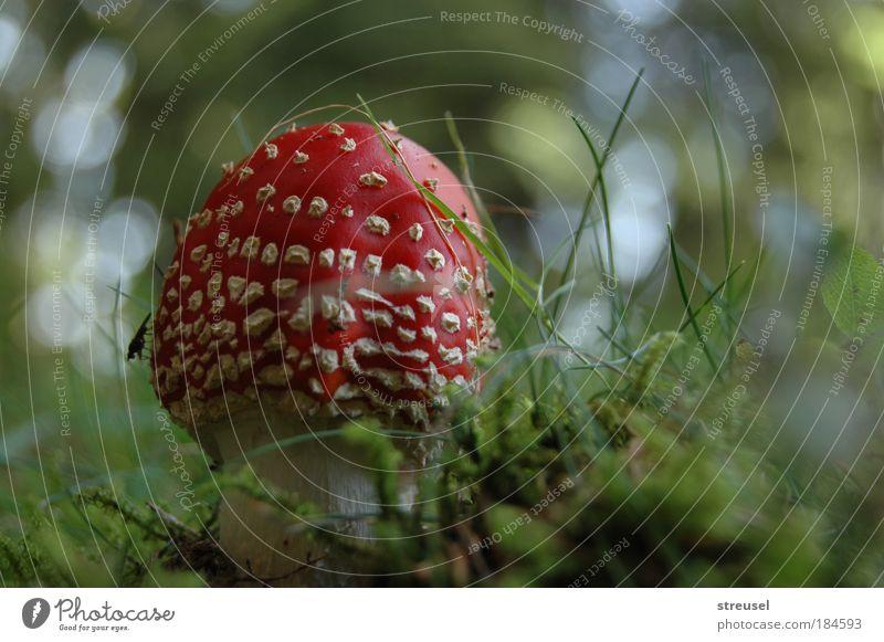 kleiner Fliegenpilz Natur grün schön rot Pflanze Farbe Umwelt Wiese Herbst Glück klein Zufriedenheit Wachstum frisch ästhetisch stehen