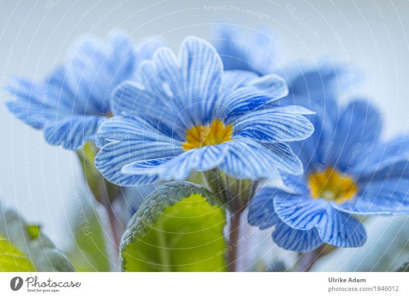 Blau - Weiß gestreifte Frühlingsprimel 'Zebra' / Primula Natur Pflanze blau grün Blume Blatt Blüte Innenarchitektur Frühling außergewöhnlich Garten Design Park frisch Blühend Ostern