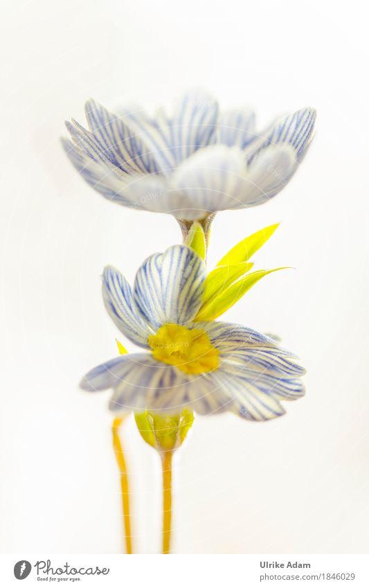 Blau - Weiß gestreifte Primeln - hochkant Design Innenarchitektur Dekoration & Verzierung Bild Postkarte Poster Ostern Natur Pflanze Frühling Blume Blatt Blüte