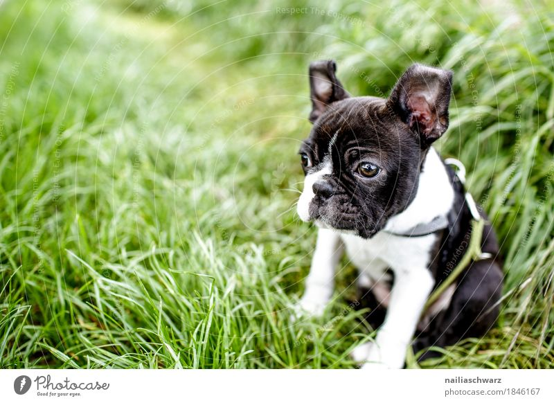 Boston Terrier Welpe Sommer Umwelt Natur Frühling Schönes Wetter Gras Garten Park Wiese Feld Tier Haustier Hund französische bulldogge 1 Tierjunges beobachten