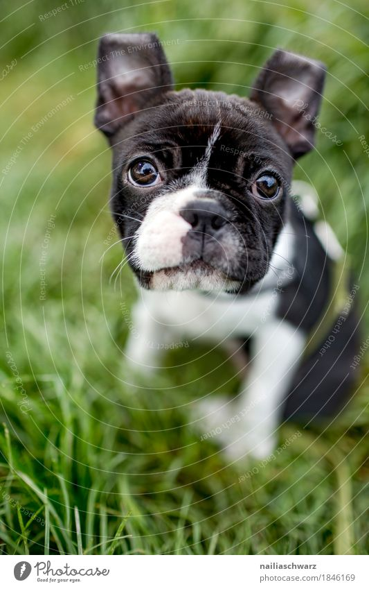Boston Terrier Welpe Sommer Umwelt Natur Gras Garten Park Wiese Tier Haustier Hund französische Bulldogge Tierjunges beobachten entdecken Blick sitzen
