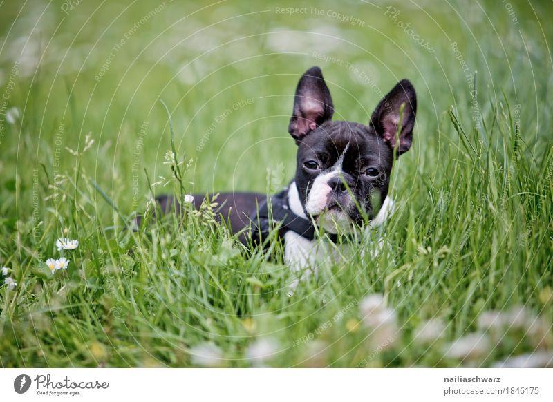 Boston Terrier Welpe Hund Sommer Tier Freude Tierjunges Frühling Wiese natürlich Gras Glück Garten Park Feld liegen Idylle Fröhlichkeit