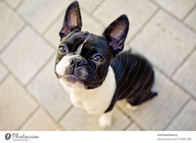 Boston Terrier Freude Haustier Hund Welpe französische Bulldogge 1 Tier Stein beobachten Blick sitzen elegant frech Freundlichkeit Fröhlichkeit listig lustig