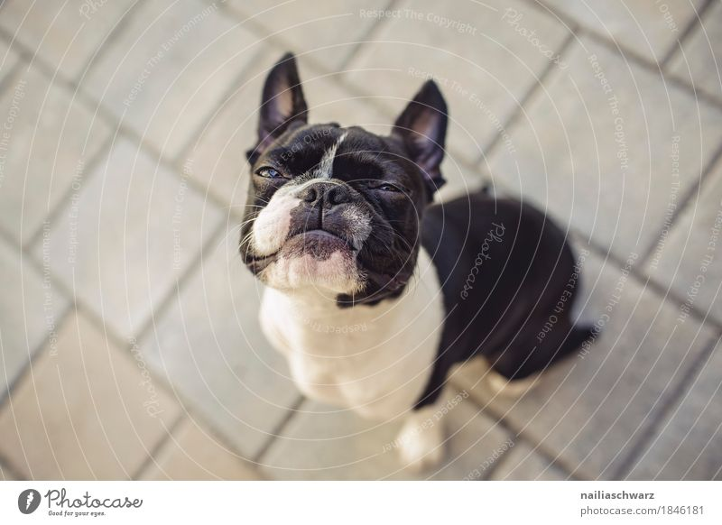 Boston Terrier Hund schön Tier Freude Gefühle lustig Freundschaft sitzen Geschwindigkeit beobachten niedlich Coolness Neugier Überraschung Tiergesicht frech