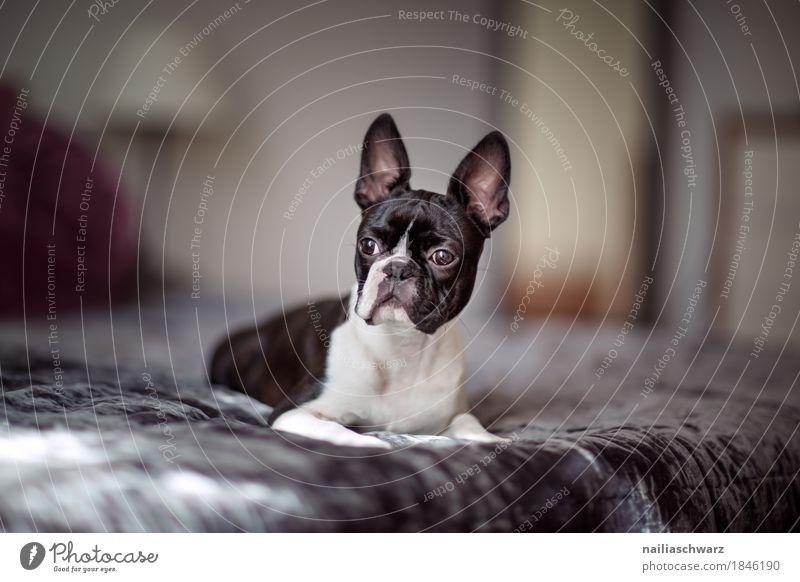 Boston Terrier Stil Freude Tier Haustier Hund französische Bulldogge Bett Decke beobachten entdecken Erholung genießen Blick schlafen elegant frech Fröhlichkeit