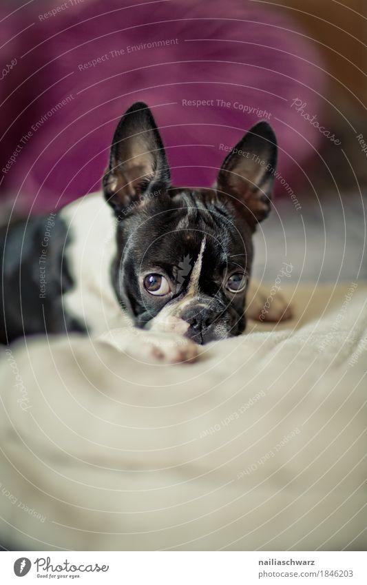 Boston Terrier Hund weiß Erholung Tier Freude schwarz Stil Zufriedenheit liegen genießen beobachten niedlich schlafen Neugier violett Bett