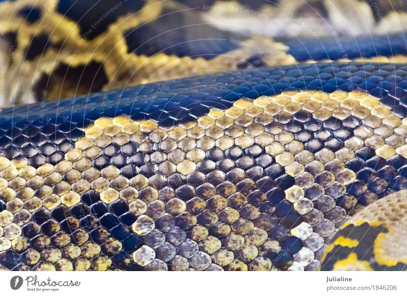 Foto der Schlangenhaut nah oben im Zoo Haut Tier Leder Schutz Python netzförmig regius Bivittatus Molurus Sebae Boa Anakondas Reptil Zunge Schlangenleder
