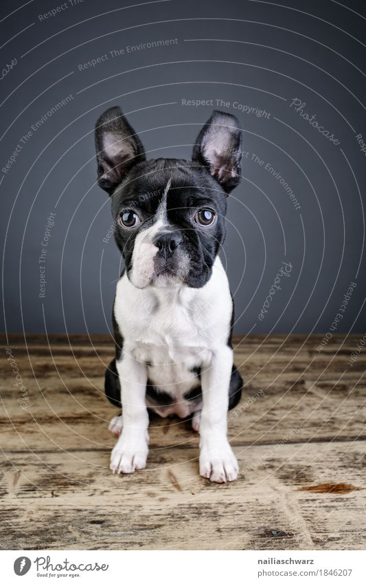 Boston Terrier Studio Portrait Hund schön Tier Freude lustig Stil sitzen Fröhlichkeit niedlich Freundlichkeit Neugier entdecken Überraschung Haustier positiv Interesse