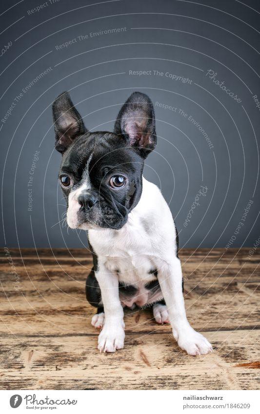 Boston Terrier Studio Portrait Natur Hund schön weiß Tier Freude schwarz lustig natürlich Stil Kommunizieren beobachten niedlich Neugier Vertrauen Haustier