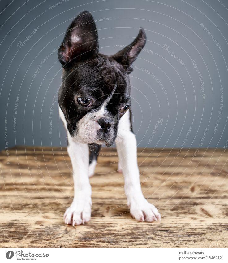 Boston Terrier Studio Portrait Hund Tier Freude Tierjunges natürlich Stil Holz Zufriedenheit Fröhlichkeit niedlich beobachten Neugier entdecken Haustier