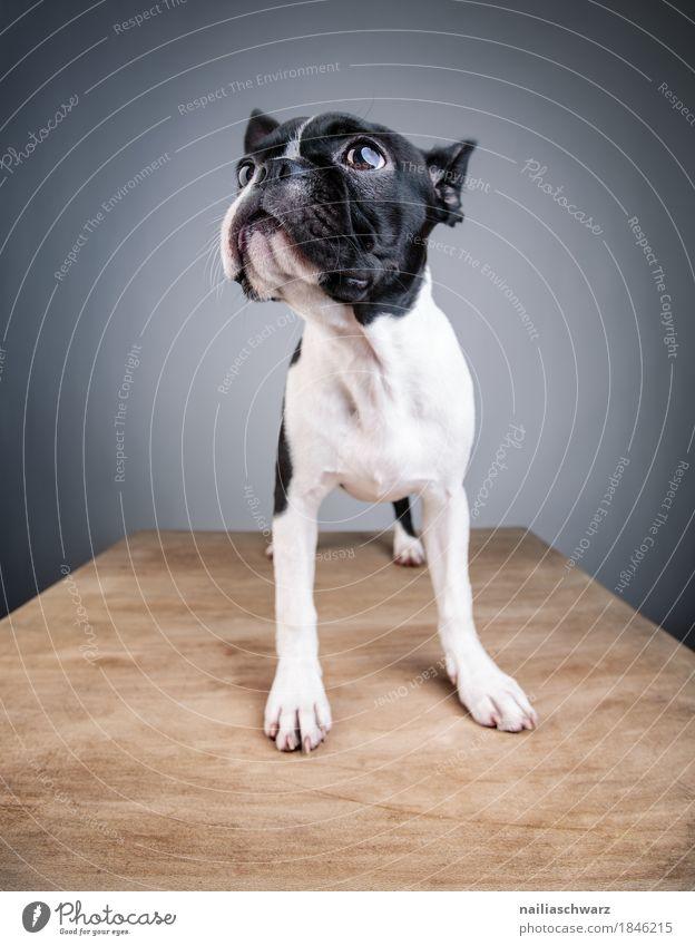 Boston Terrier Studio Portrait Stil Freude Tier Haustier Hund Tiergesicht 1 Tierjunges Holz Tisch Holztisch beobachten entdecken Blick stehen einfach frech