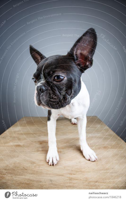 Boston Terrier Studio Portrait Stil Freude Tier Haustier Hund Tiergesicht französische Bulldogge Welpe 1 beobachten Blick stehen warten natürlich Neugier