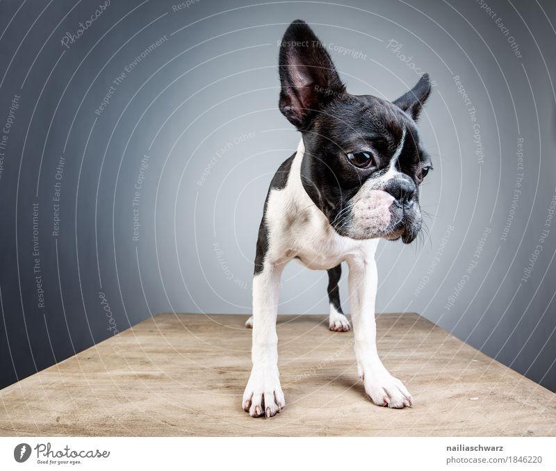 Boston Terrier Studio Portrait Stil Freude Tier Haustier Hund 1 Tisch Holztisch beobachten Blick stehen träumen Traurigkeit Freundlichkeit klein lustig