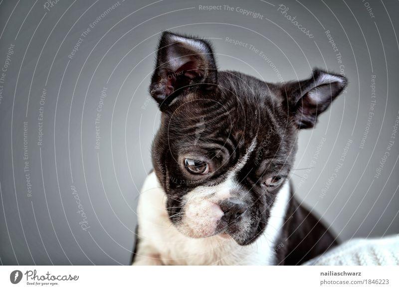 Boston Terrier Welpe Studio Portrait Freude Tier Haustier Hund französische Bulldogge 1 beobachten entdecken Kommunizieren Blick sitzen Coolness Fröhlichkeit