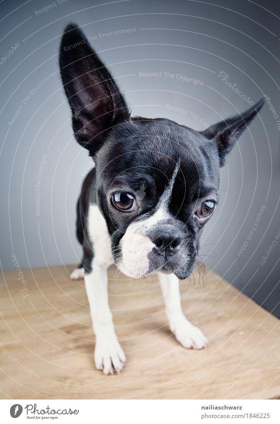 Boston Terrier Studio Portrait Stil Freude Tier Haustier Hund Welpe Bulldogge beobachten Blick warten Freundlichkeit Fröhlichkeit Neugier niedlich positiv schön