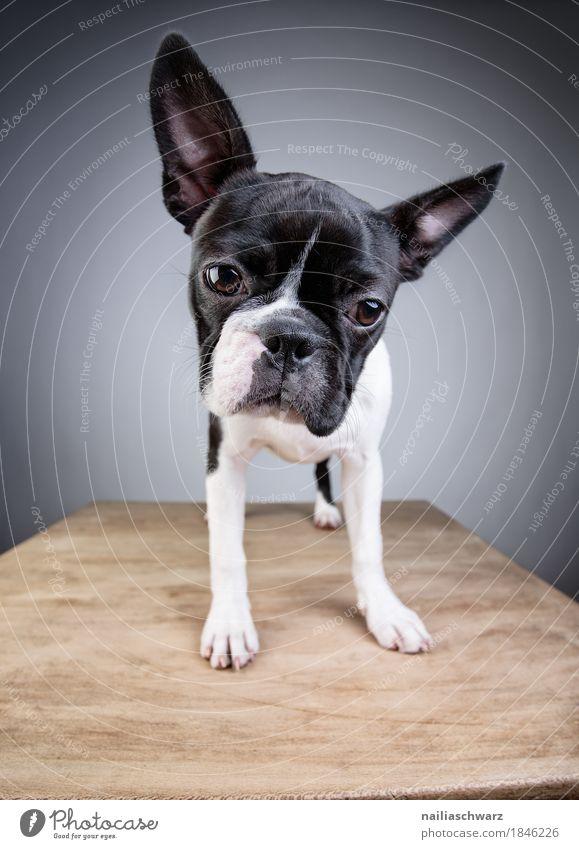 Boston Terrier Studio Portrait Stil Freude Tier Haustier Hund Welpe boston terrier Holztisch beobachten entdecken Blick stehen elegant frech Freundlichkeit