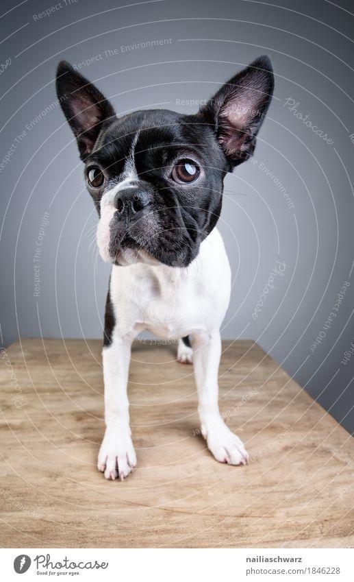 Boston Terrier Studio Portrait Hund blau weiß Tier Freude schwarz Tierjunges lustig Stil Glück grau Idylle Fröhlichkeit niedlich beobachten Freundlichkeit