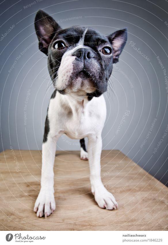 Boston Terrier Studio Portrait Stil Freude Tier Haustier Hund 1 Tisch Holz beobachten Blick stehen frech Freundlichkeit Fröhlichkeit natürlich Neugier niedlich