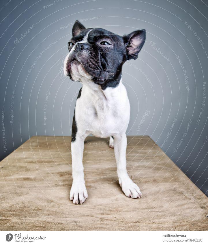 Boston Terrier Studio Portrait Hund blau schön weiß Tier ruhig Freude schwarz lustig Stil Zufriedenheit elegant stehen Tisch einzigartig niedlich