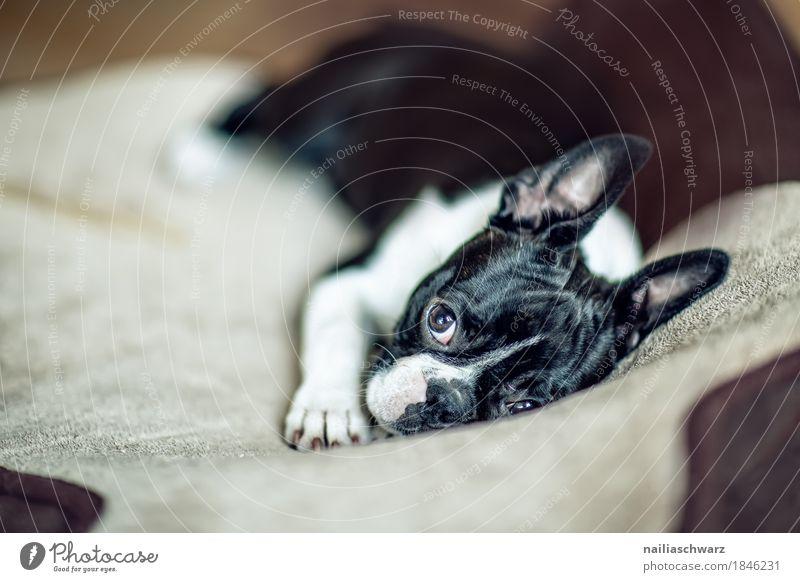 Boston Terrier Fina Hund Erholung Tier Freude Tierjunges Stil träumen liegen Idylle Fröhlichkeit beobachten niedlich Neugier Bettwäsche Gelassenheit Haustier