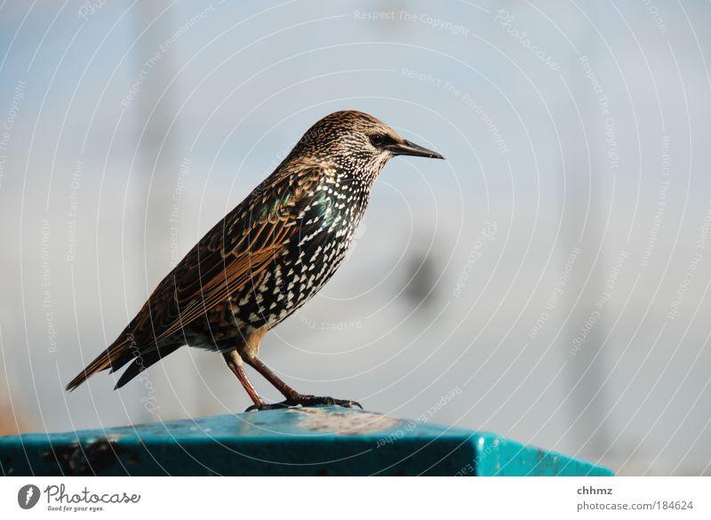 Ringo schön Tier Vogel elegant ästhetisch Aussicht Feder Flügel Schnabel Star eitel