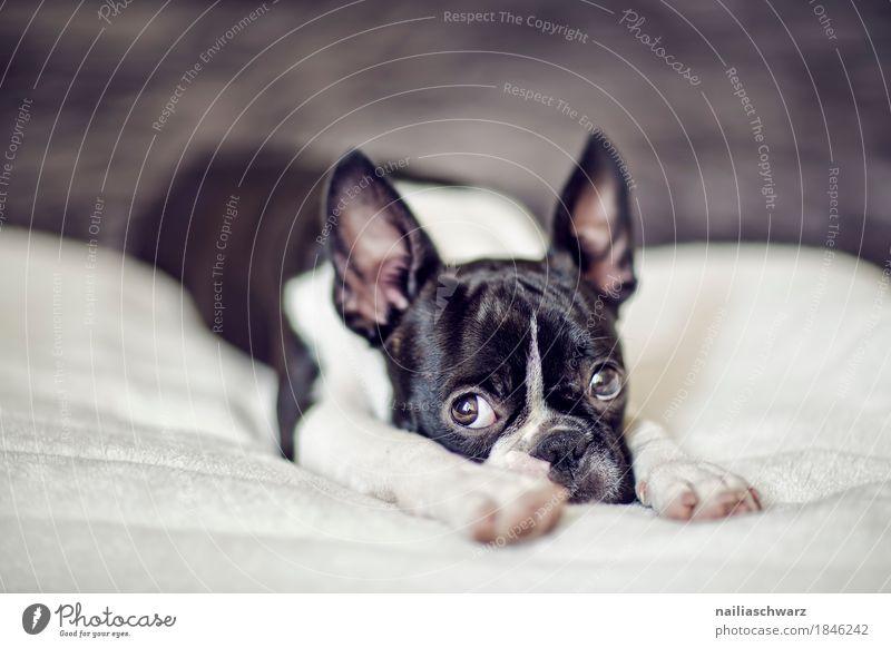 Boston Terrier Welpe Stil Freude Tier Haustier Hund Tiergesicht 1 Bett Decke beobachten Erholung liegen Blick Traurigkeit Freundlichkeit kuschlig natürlich