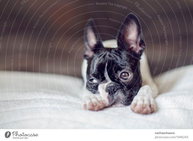 Boston Terrier Welpe Stil Freude Tier Hund 1 Tierjunges Decke Bett beobachten Erholung Blick schlafen frech lustig natürlich niedlich positiv schön Geborgenheit