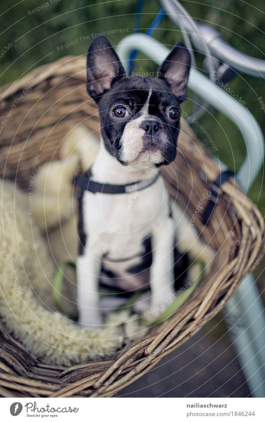 Boston Terrier macht Ausflug Fahrrad Tier Haustier Hund Tiergesicht Welpe französische Bulldogge 1 Tierjunges beobachten Blick sitzen warten frech