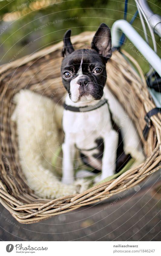 Boston Terrier Welpe macht Ausflug Fahrrad Tier Hund französische Bulldogge boston terrier 1 Tierjunges beobachten entdecken lernen Blick frech Freundlichkeit