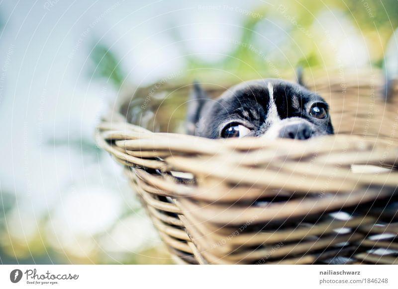 Boston Terrier Welpe beim Ausflug Ferien & Urlaub & Reisen Fahrradtour Sommer Tier Haustier Hund Tiergesicht Bulldogge 1 beobachten liegen Blick Fröhlichkeit