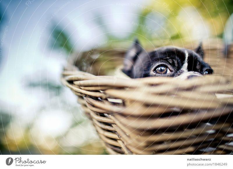 Boston Terrier Welpe Natur Hund Pflanze Erholung Tier Freude Tierjunges lustig liegen Fahrrad Fröhlichkeit genießen Schönes Wetter beobachten niedlich Neugier