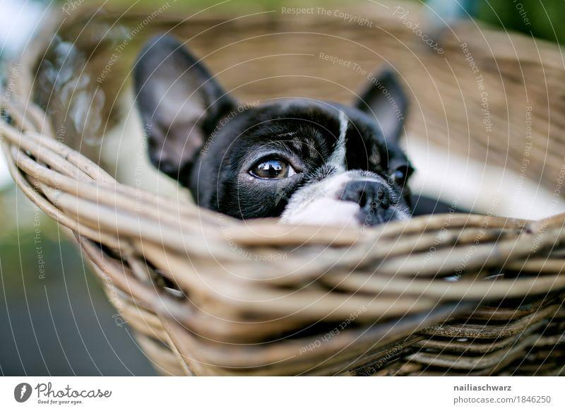 Boston Terrier Hund schön Erholung Tier lustig natürlich klein Glück träumen Zufriedenheit liegen Fröhlichkeit beobachten niedlich Neugier Sicherheit