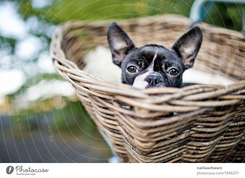Boston Terrier, Ausflug. Ferien & Urlaub & Reisen Fahrradtour Sommer Fahrradfahren Tier Hund 1 Korb Fahrradkorb entdecken Blick Freundlichkeit Fröhlichkeit