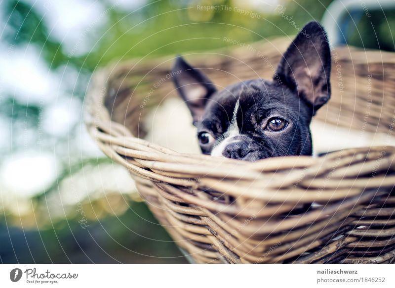 Boston Terrier Welpe macht Ausflug Ferien & Urlaub & Reisen Hund Erholung Tier Freude natürlich Holz Glück Freizeit & Hobby Fahrrad Fröhlichkeit warten