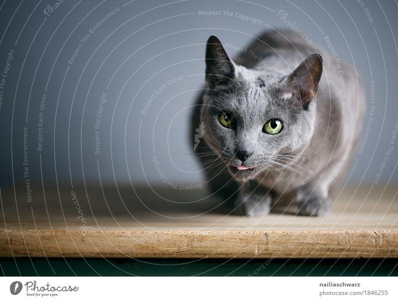Russisch Blau Katze blau schön Erholung Tier Liebe natürlich Holz grau Zufriedenheit liegen elegant Tisch beobachten niedlich Neugier