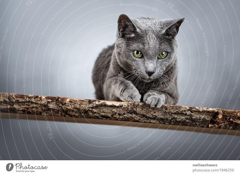 Russisch Blau Katze elegant Tier Tiergesicht 1 Holz Holzbank beobachten entdecken liegen Blick authentisch Coolness schön listig lustig natürlich Neugier